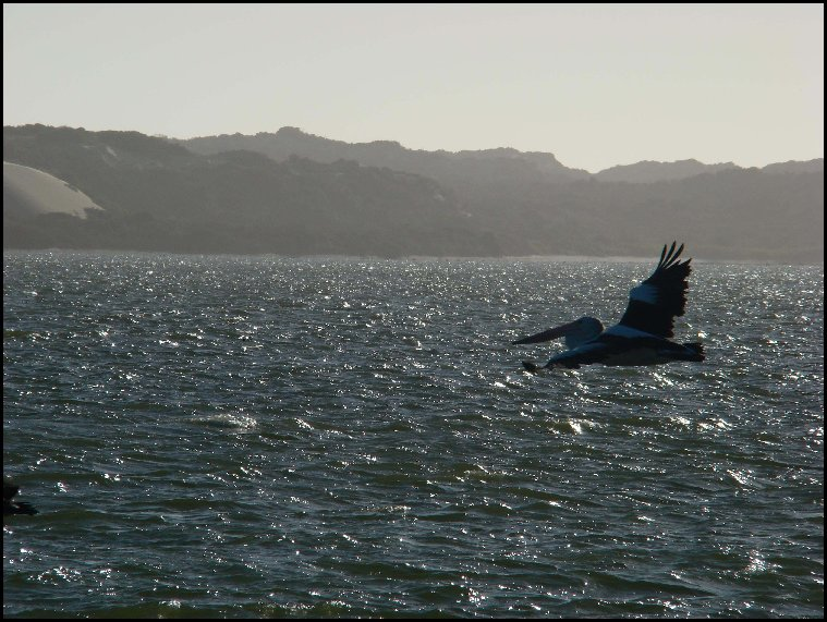 Pelican flying over the Coorong, South Australia - 2008