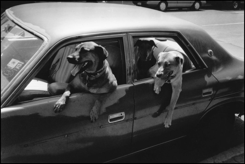 Dogs imitating their owners, Brisbane, Australia 1989